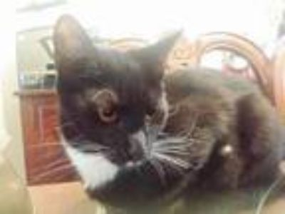 Adopt Domino a Domestic Short Hair