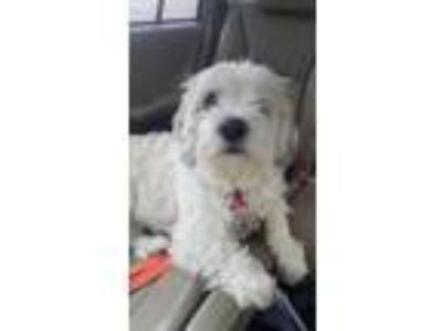 Adopt Pammy a White - with Tan, Yellow or Fawn Lhasa Apso / Mixed dog in