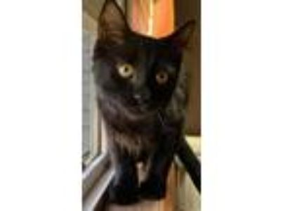 Adopt Eddie a All Black Domestic Shorthair / Mixed cat in Maywood, IL (25854200)