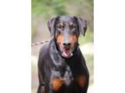 Adopt Cyber a Black - with Tan, Yellow or Fawn Doberman Pinscher / Mixed dog in