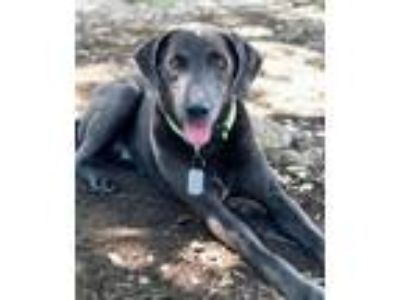 Adopt BUDDY a Retriever, Weimaraner