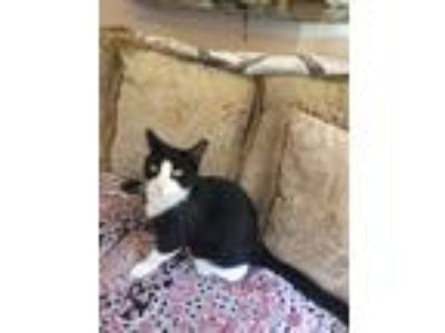 Adopt Scoks a Black & White or Tuxedo Domestic Shorthair / Mixed cat in