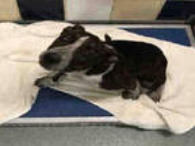Adopt SPECKLES a Brindle - with White American Pit Bull Terrier / Pointer /