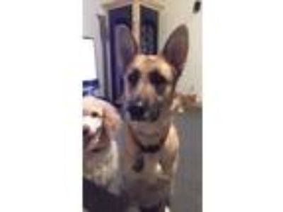 Adopt Chelsea a Tan/Yellow/Fawn - with Black German Shepherd Dog / Mixed dog in