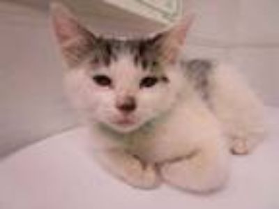 Adopt Putty Cat a White Domestic Mediumhair / Domestic Shorthair / Mixed cat in