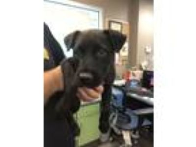 Adopt Pup a Labrador Retriever / Pit Bull Terrier / Mixed dog in Norman