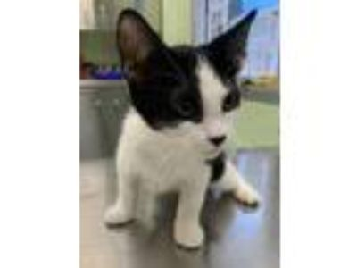 Adopt Nettle a White Domestic Shorthair / Domestic Shorthair / Mixed cat in