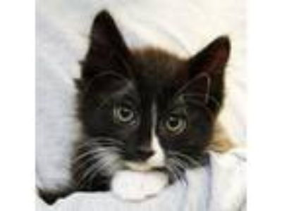Adopt Barq a All Black Domestic Mediumhair / Domestic Shorthair / Mixed cat in