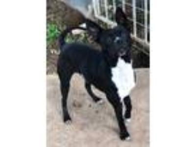 Adopt Wybie a Black - with White Boston Terrier / Terrier (Unknown Type