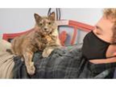 Adopt Madolyn a Dilute Tortoiseshell
