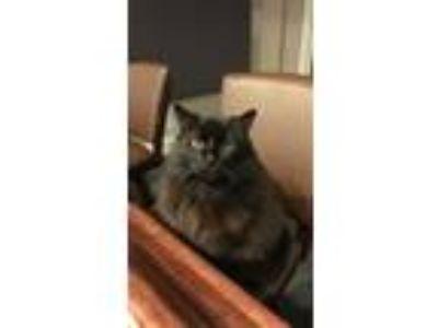 Adopt Jobs a All Black Domestic Mediumhair / Mixed cat in Roswell, GA (23271891)