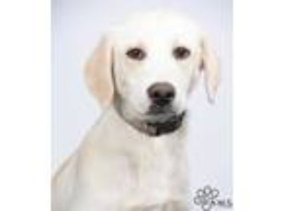Adopt Della a White Labrador Retriever / Mixed dog in Tinley Park, IL (25593327)