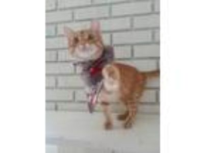 Adopt Parker a Orange or Red Tabby Domestic Shorthair (short coat) cat in