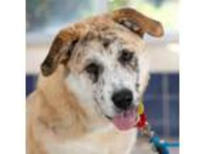 Adopt Brownee a Shepherd, Great Pyrenees