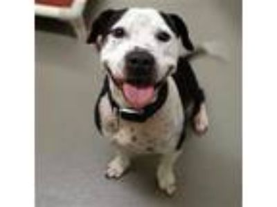 Adopt Tater a Black American Pit Bull Terrier / Mixed dog in Dallas