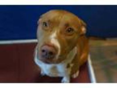 Adopt KILO a Tan/Yellow/Fawn - with White American Pit Bull Terrier / Mixed dog