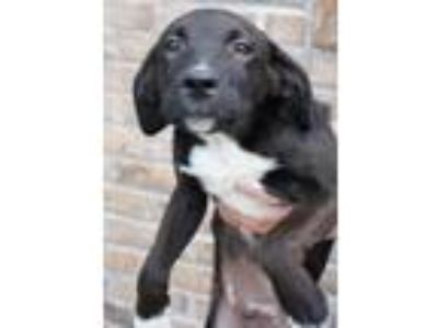 Adopt Sandy a Labrador Retriever, Border Collie