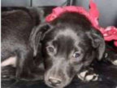 Adopt Fruity pebbles a Retriever, Wirehaired Terrier