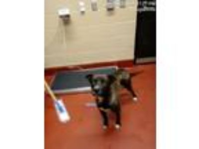Adopt Hershey a Brown/Chocolate Labrador Retriever / Shepherd (Unknown Type) dog