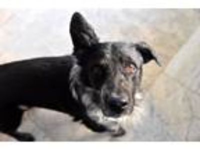 Adopt Ellis a Black - with White Border Collie / Mixed dog in Prosper