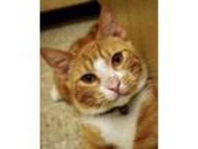 Adopt Tennessee a Domestic Short Hair