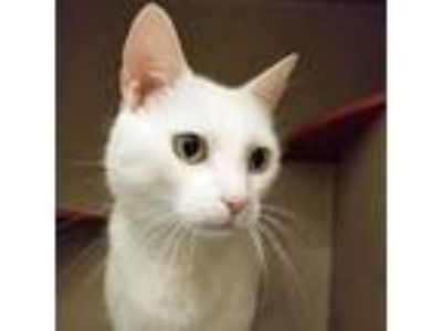 Adopt Moscato a White Domestic Shorthair / Domestic Shorthair / Mixed cat in