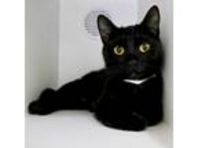 Adopt Esmerelda a All Black Domestic Shorthair / Mixed (short coat) cat in