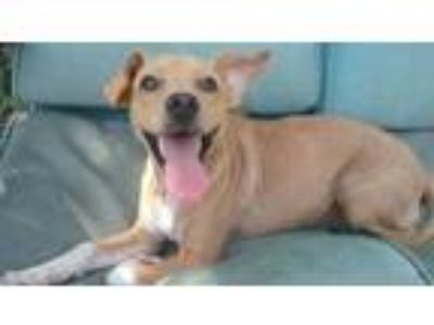 Adopt Andy available 7/10/19 a Feist / Mixed dog in Elmsford, NY (25807921)