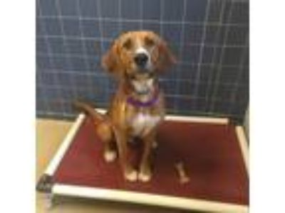 Adopt Roscoe a Brown/Chocolate Hound (Unknown Type) / Mixed dog in Milwaukee