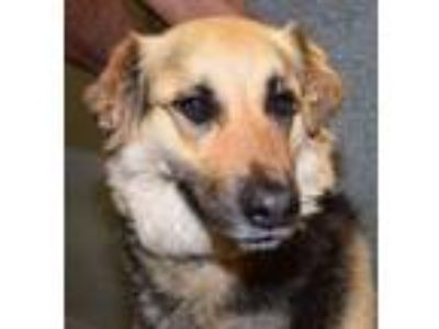 Adopt Max a German Shepherd Dog, Labrador Retriever
