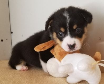 Pembroke Welsh Corgi PUPPY FOR SALE ADN-92797 - AKC Pembroke Welsh Corgi Pups