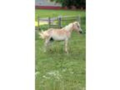Adopt Mary Jane a Haflinger