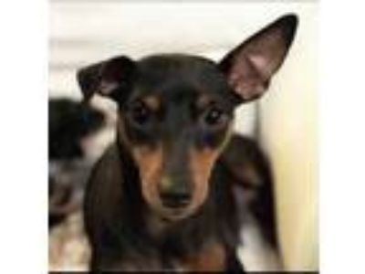 Adopt Mama a Black Miniature Pinscher / Mixed dog in Visalia, CA (25579333)