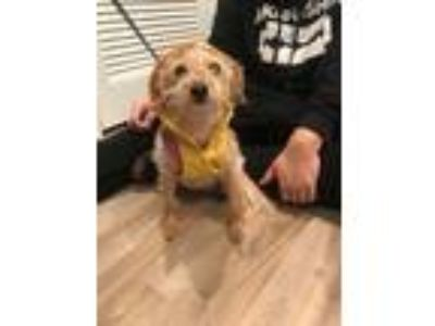 Adopt Daisy a Tan/Yellow/Fawn - with White Terrier (Unknown Type