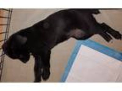 Adopt Giget a Black - with White Collie / Labrador Retriever / Mixed dog in