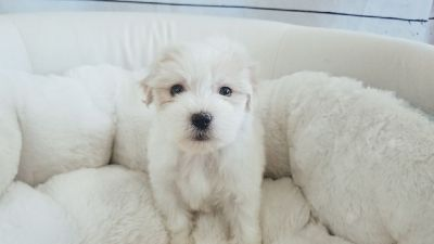 Maltipoo - Male - Butter ($1,200)