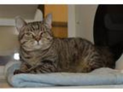 Adopt Hermione a Domestic Shorthair / Mixed (short coat) cat in Versailles