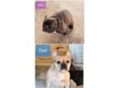 French Bulldog Puppies AKC REGISTERED