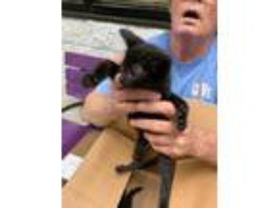 Adopt 41877633 a All Black Domestic Shorthair / Domestic Shorthair / Mixed