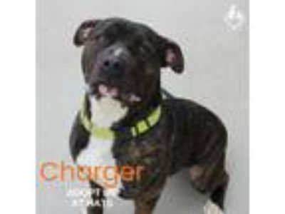 Adopt Charger a Pit Bull Terrier