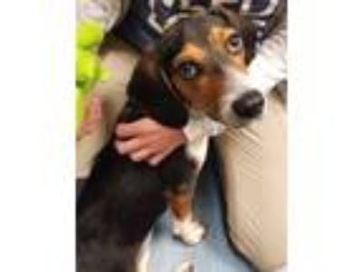 Adopt Rose a Beagle / Mixed dog in Pittsburgh, PA (25644323)
