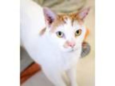 Adopt Mew a White (Mostly) Domestic Mediumhair / Mixed (medium coat) cat in