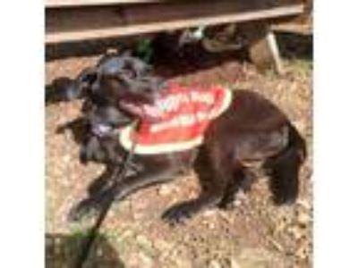 Adopt Brenda a Spaniel (Unknown Type) / Mixed dog in Austin, TX (23535678)