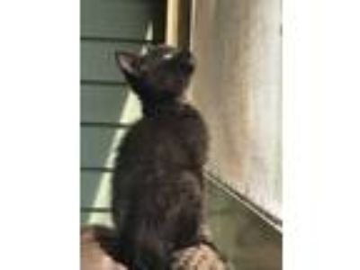 Adopt Dogwood a All Black Domestic Shorthair / Domestic Shorthair / Mixed cat in