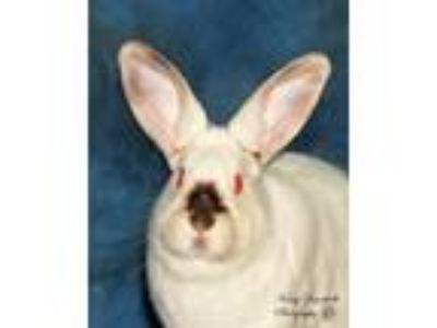 Adopt Barley a Cream Californian / Mixed (short coat) rabbit in Rohnert Park