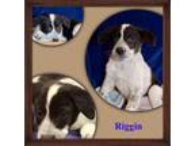 Adopt Riggins a Border Collie