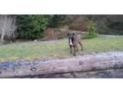 Adopt Momma bear a Brown/Chocolate Labrador Retriever / Mixed dog in Cushing