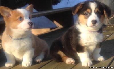 Eastpointe RGKS #! Welsh Corgi Pembroke Puppies