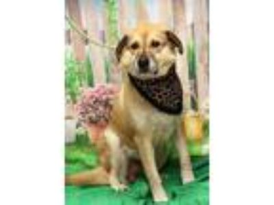 Adopt Doug a Red/Golden/Orange/Chestnut Shepherd (Unknown Type) / Mixed dog in