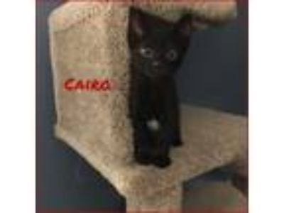 Adopt Cairo a Black (Mostly) Domestic Shorthair (short coat) cat in Miami